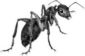 Ant by Linda Saboe