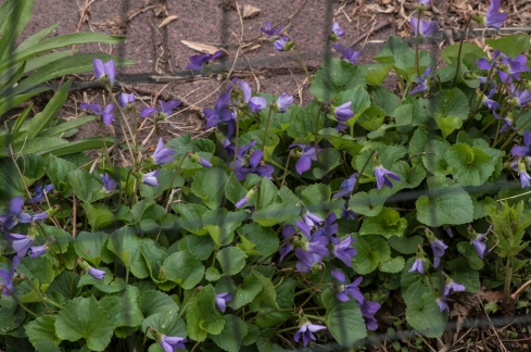 tangle of violets
