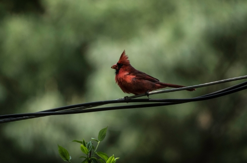 cardinal on a wire