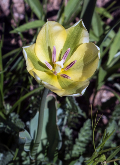 yellow/green tulip