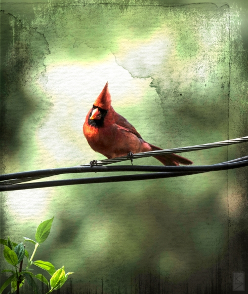 Red Bird on a Wire by Linda Saboe