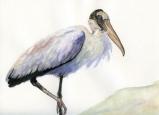 Wood Stork by Linda Saboe