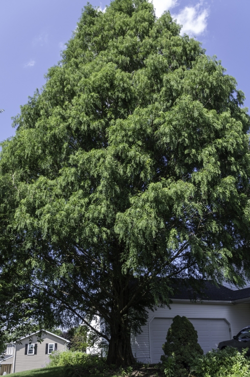 The Dawn Redwood Tree in front of our house.
